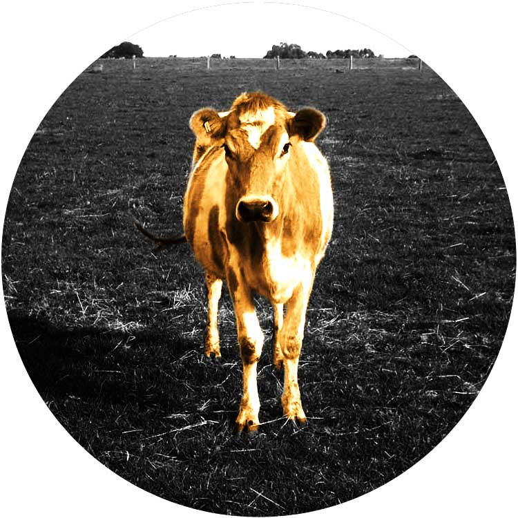 cow-standing